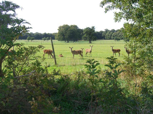 deer-at-houghton-hall