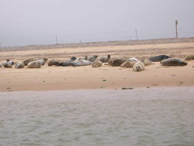 seals-at-blakeney-01